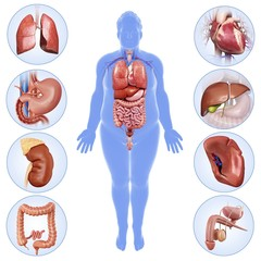 Internal male organs, illustration