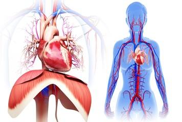 Female heart and diaphragm, illustration