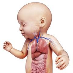 Baby's body organs, illustration