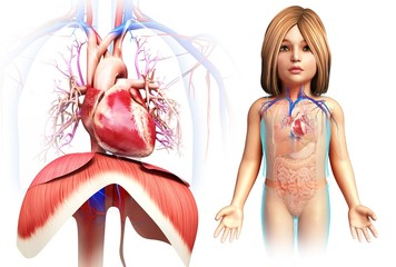 Child's heart and diaphragm, illustration