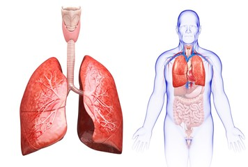 Male lungs, illustration