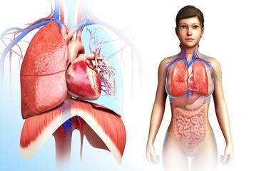 Female heart-lung system, illustration