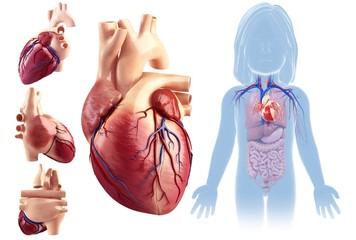 Child's heart anatomy, illustration