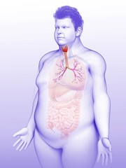 Male trachea and bronchi, illustration