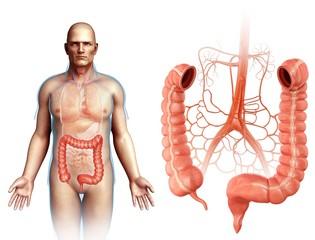 Male large intestine and arteries, illustration