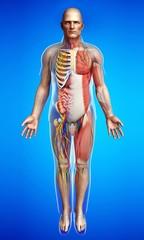 Male anatomy, illustration
