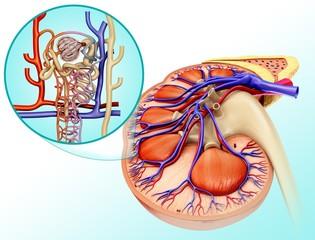 Nephron structure and kidney anatomy, illustration