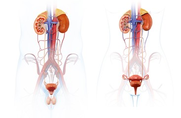 Male and female urinary systems, illustration