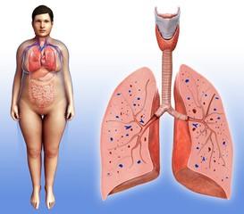 Female lung anatomy, illustration