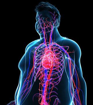 Illustration of man's heart and circulatory system