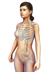Female skeletal system, illustration