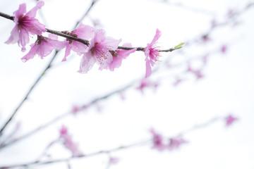 白バックのピンクの桃の花