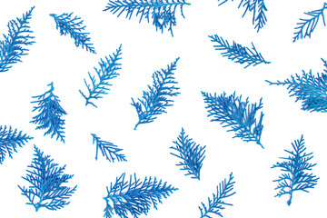fresh blue pine leaves , Oriental Arborvitae, Thuja orientalis (also known as Platycladus orientalis) leaf texture background for design foliage pattern and backdrop