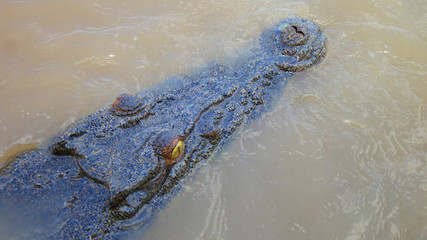 Close up of a wild and extreme dangerous salt water killer crocodile swimming the the Adelaide River in the Northern Territory, Australia near Darwin