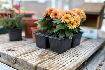 Dwarf yellow and orange chrysanthemum flowers growing on wooden base in a traditional English potting shed or green house