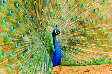 Peacock peafowl (Pavo cristatus) displaying tail feathers