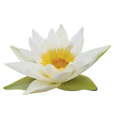 Water lily on white background. 3D illustration
