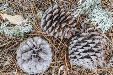 Piñas de Pino Resinero. Pinus pinaster. Hojas y líquenes.