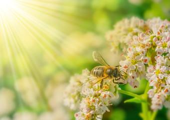 Honigbiene, Biene auf blühendem Buchweizen und Sonnenstrahlen - Honeybee, bee on buckwheat in bloom and sunbeams