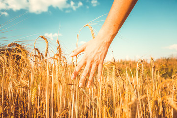 Vintage picture of man's hand and rye spikelets