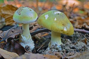 amanita phalloides mushroom