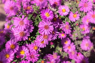 purple daisy blurred
