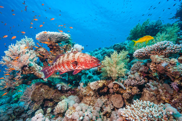 Aluminium Prints Under water A Coral Grouper and other tropical fish on a coral reef