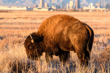 Bison Bull With the City of Denver as a Backdrop
