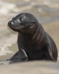 Sea lion pup on rocks at La Jolla Cove in La Jolla, California