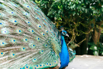 Side view of male peacock with feathers on display