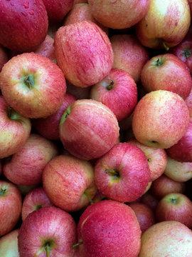 Fresh Apples Wet from Rain