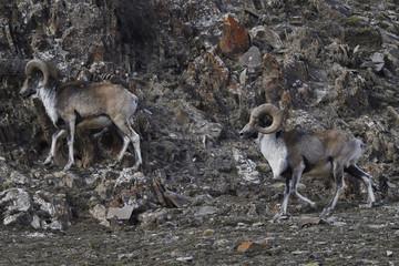 Mountain sheep in rocky landscape