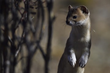 Mountain weasel standing up
