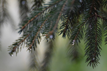 pinetree after a rainy morning with raindrops
