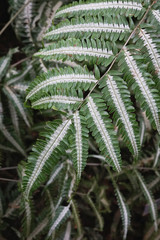 Variegated silver brake fern close up
