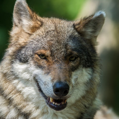 Close up photo portrait eurasian wolf in spring sunny day