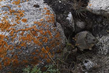 Gansu pika on the ground