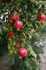 Pomegranates growing on a pomegranate tree