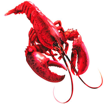 Red lobster isolated, single, cooked, seafood, watercolor illustration on white