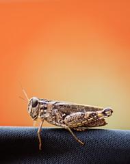 Small grasshopper with orange background