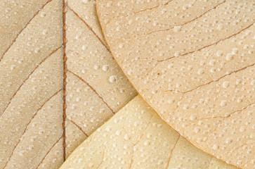 Waterdrops on magnolia leaves, closeup