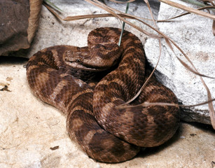 The venomous pit viper, Gloydius saxatilis, is heated in front of the stone