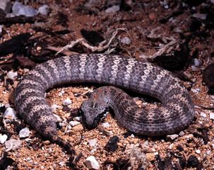 Acanthophis antarcticus, Common death adder, a common Australian poisonous snake