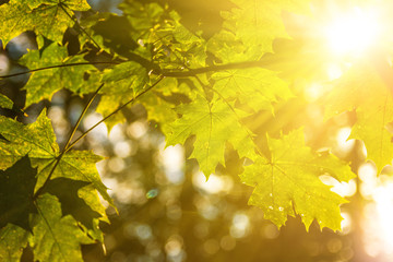 Ahornblätter mit Sonnenstrahlen