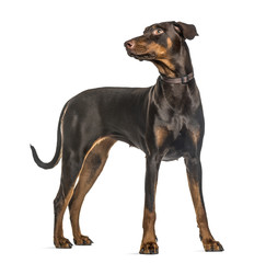 Attentive doberman Pinscher standing, isolated on white