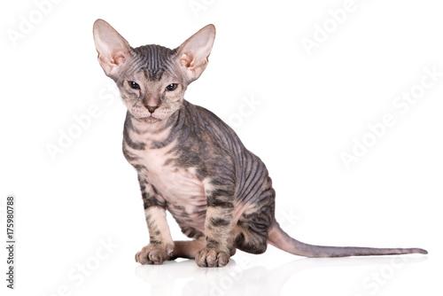tabby sphynx kitten posing on white