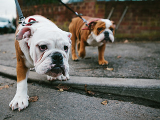 Two English bulldog walking in the park .