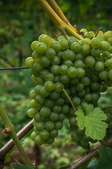 Cluster of light wine grapes on a rod