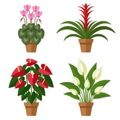 Blooming indoor flowers