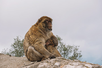 Mother Barbary Macaque ape feeding her baby